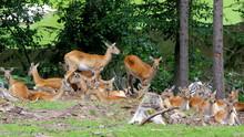 Stado Saren Ukryte W Lesie - Mulaki Białoogonowe Odpoczywają W Cieniach Zagajnika
