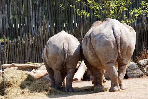 Fényképezés rhinocéros blanc et son bébé