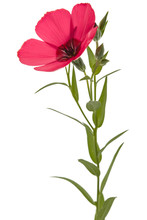 Red Flower Of Flax, Isolated On White Background