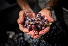 Wine Vendemmia