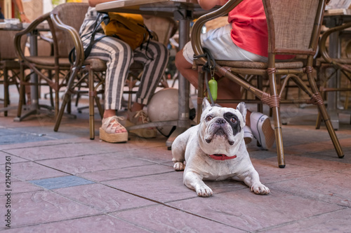Photo  An Olde English Bulldogge to a coffee