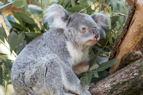 Koala (Phascolarctos cinereus) Koalabär