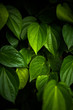Green betel leaves in dramatic tone