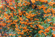 Pyracantha - Firethorn Plants Closeup Background With Copy Space