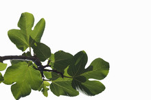 Branch Of Young Green Leaves O...