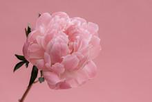 Single Pink Peony Stem On Pastel Pink Background.