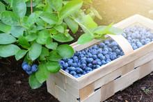 Freshly Picked Bilberries In A...