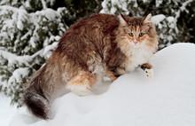 Beautiful Norwegian Forest Cat...