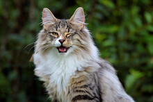 Young Norwegian Forest Cat Male Winking His Eye