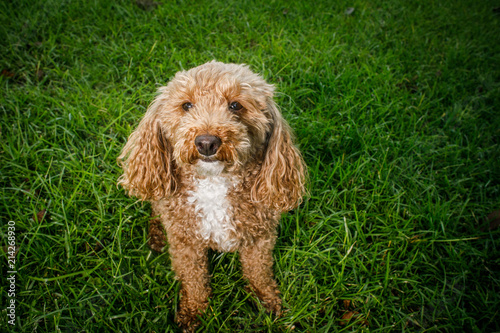 Canvastavla Fluffy Redhead Bichon Poodle Bichpoo Dog Outside in Yard