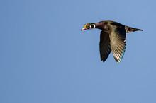 Lone Wood Duck Flying In A Blu...