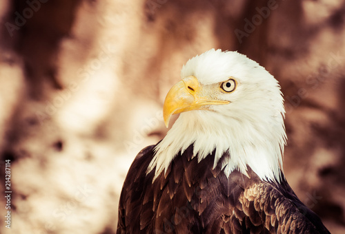 Foto op Aluminium Eagle bald eagle with incredible look and great beak