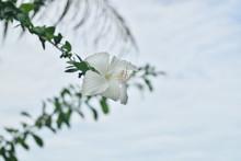 White Gumamela