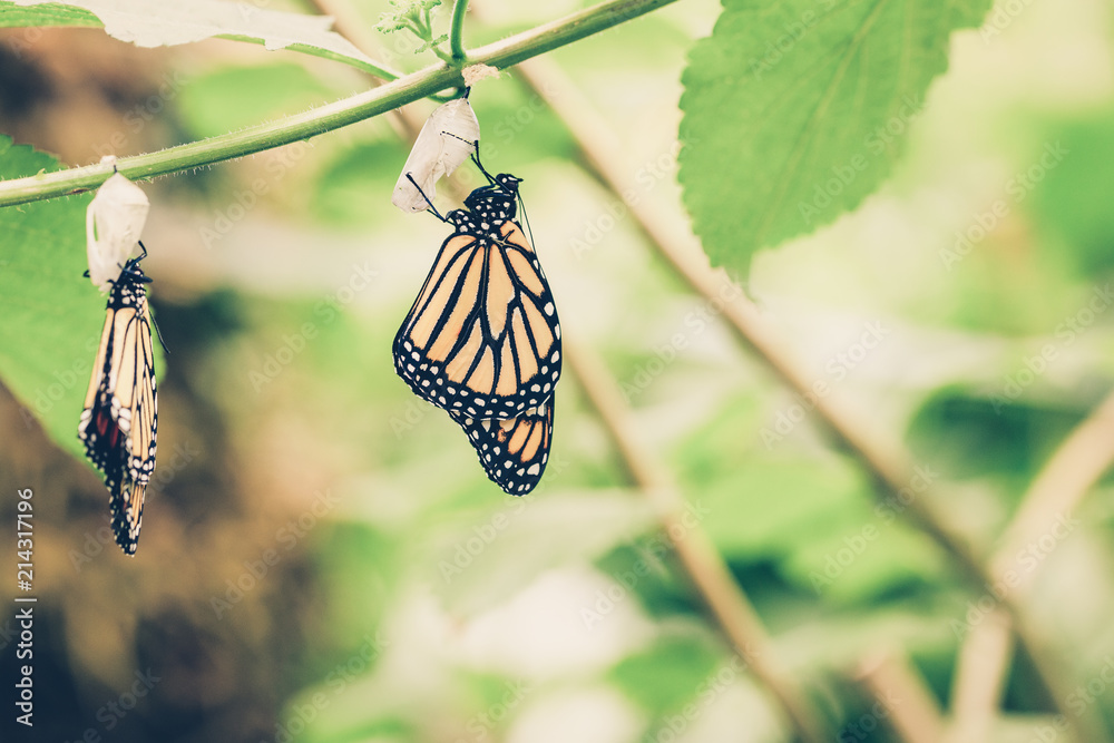 Hanging butterflies and cocoons on green leaves and branch. Pupation of butterfly.