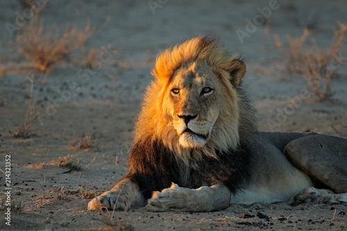Zdjęcie XXL Duży męski Afrykański lew w wczesnego poranku świetle, Kalahari pustynia, Południowa Afryka (Panthera Leo).