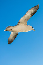 Shot Of A Flying Seagull Over Blue Ocean