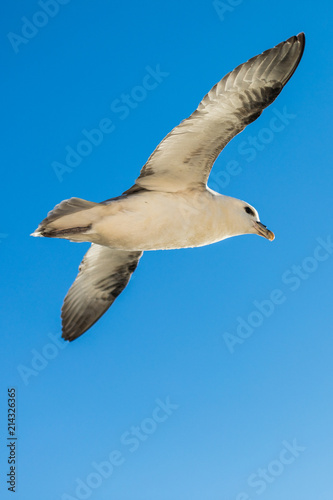 Shot of a flying seagull over blue ocean Poster