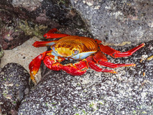 Sally Lightfoot Crab Sitting On Stones On Galapagos Islands