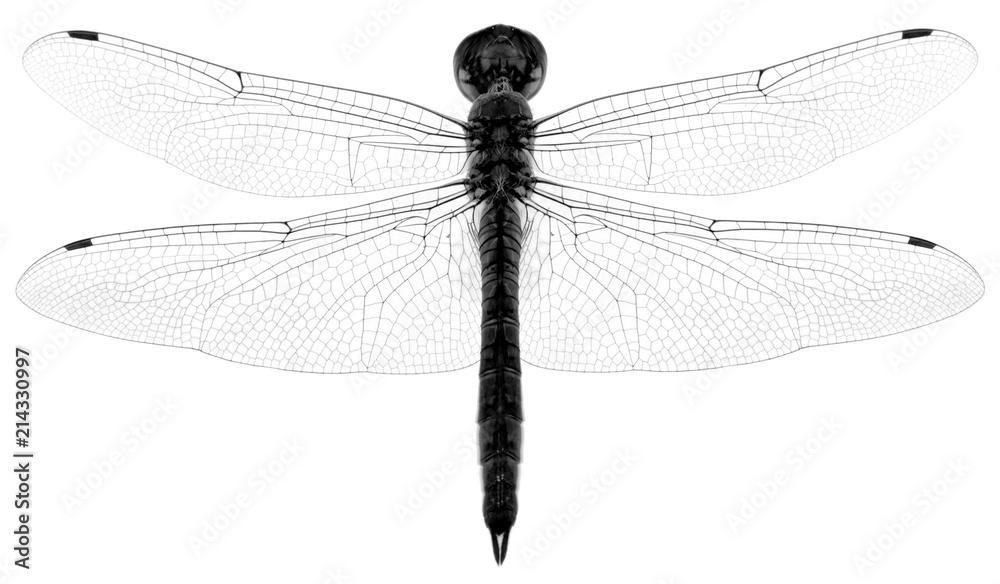 Fototapeta libellule en noir et blanc, fond blanc