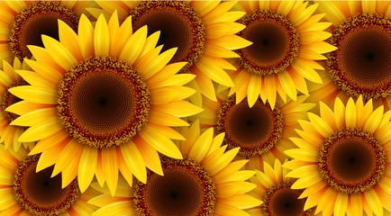 Fototapeta Sunflowers background, summer flowers vector illustration.