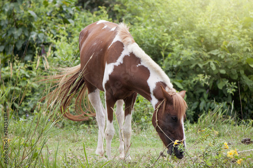 Beautiful of White-breasted pet horses feeding on grass. Poster