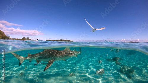 Over under sea surface sharks ,Pacific ocean, French Polynesia