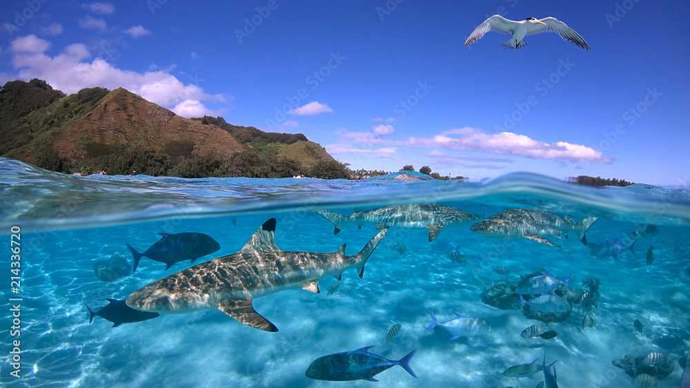 Fototapeta Over under sea surface sharks,tropical fish and bird ,Pacific ocean, French Polynesia