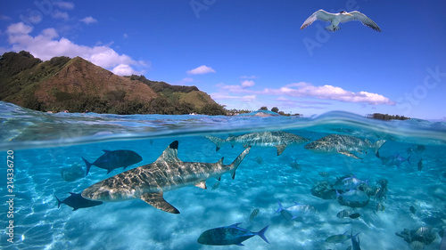 Obraz na plátně Over under sea surface sharks,tropical fish and bird ,Pacific ocean, French Poly