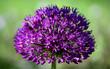 Allium 2
