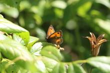 Gatekeeper Butterfly Sunbathes.
