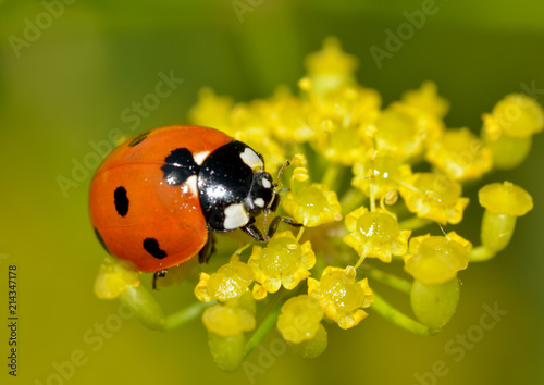 Ladybug on the plant flower.