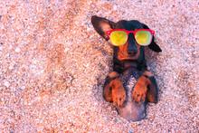 Top View  Cute Dog Of Dachshun...