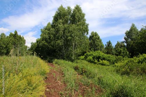 Fotografija Firebreak in the summer birch forest