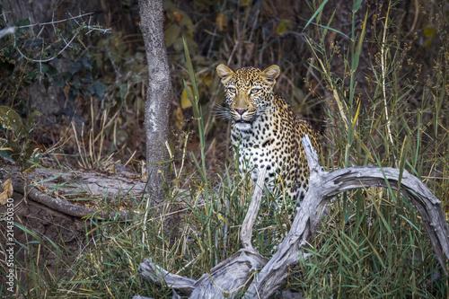 Zdjęcie XXL Lampart w Kruger National park, Republika Południowej Afryki; Specie Panthera pardus rodzina Felidae