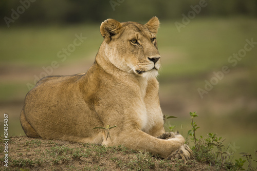 Fotografie, Obraz  A portrait of a lioness relaxing on grass in a park in Africa