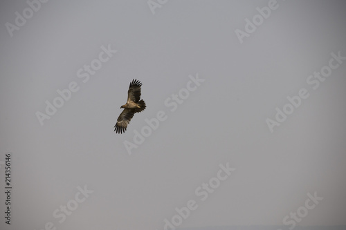 Photo  A beautiful flying hawk against a clear blue sky in Africa