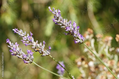 Fotobehang Lavendel Brin de lavande dans un jardin