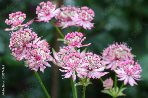 Photo Sterndolde in Pink Makro Astrantia