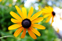 Center Of A Brown Eyed Susan