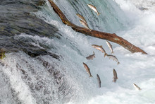 Salmon Jumping Over  The Brooks Falls At Katmai National Park, Alaska