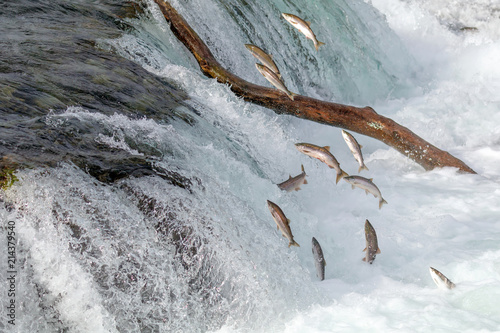 Fotografija  Salmon Jumping Over  the Brooks Falls at Katmai National Park, Alaska
