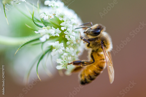 Photo sur Toile Bee honeybee macro white flower