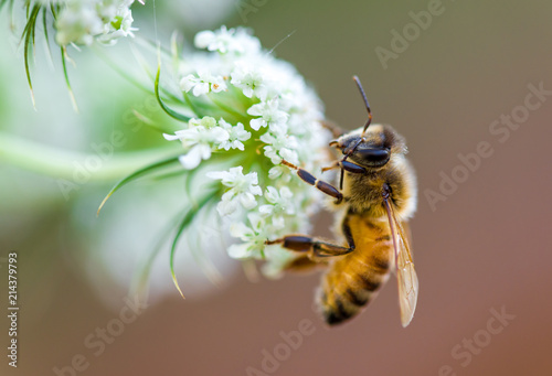 Spoed Foto op Canvas Bee honeybee macro white flower