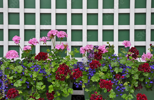 Colorful geranium planters