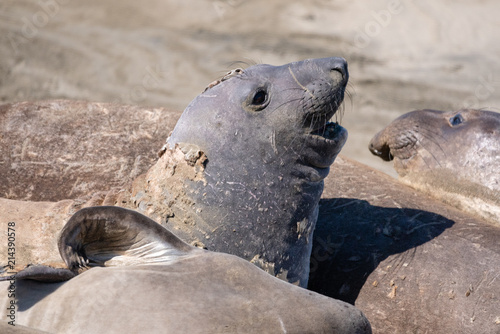 Close up of elephant seal on the shore in San Simeon, California. Fototapeta