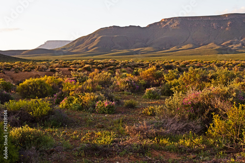 Deurstickers Chocoladebruin Afternoon landscape of Karoo flowers and mountain