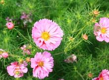 Cosmos Bipinnatus ,rose Dans Jardin
