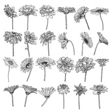 Set Of Isolated Daisy, Dahlias, Zinnia And Gerbera Ink Hand Drawn Flower Illustration In Black And White Plane Outline On White Background. Spring Botanical Flowers Vector.