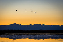Sandhill Cranes Flying Over A ...