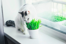 White Cat Eating Green Grass In A Pot On The Window Sill